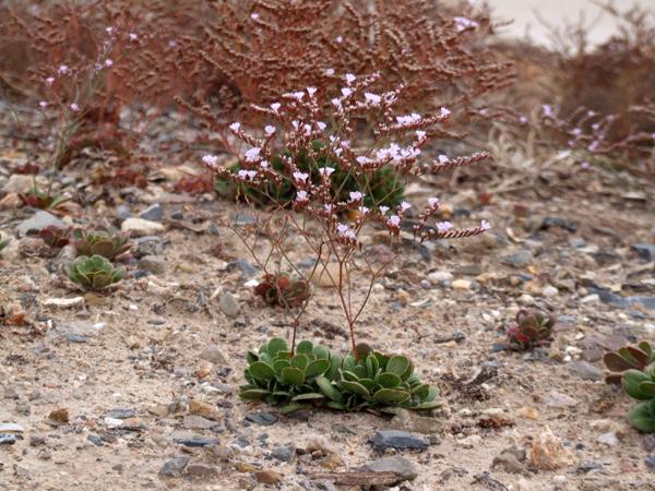 Pajurio augalai
