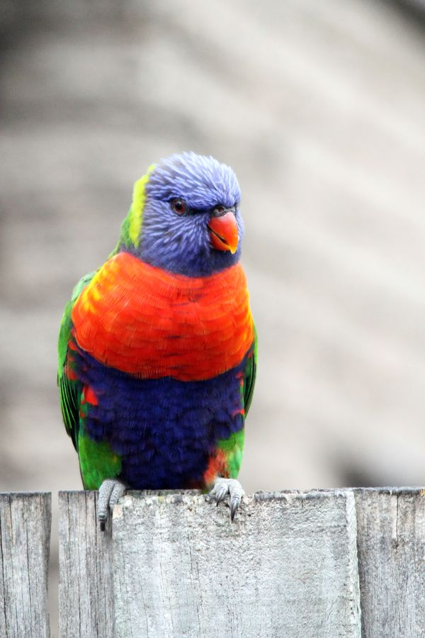 Rainbow Lorikeet Rainbow Lorikeet